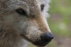 Européen, portraits de loup de bois de construction Photographie stock libre de droits