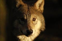 Européen, portraits de loup de bois de construction image stock