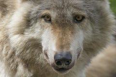 Européen, portraits de loup de bois de construction Images libres de droits