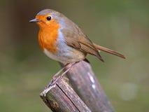 Européen Robin Image stock
