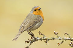 Européen Robin (rubecula d'Erithacus) Photo stock