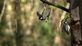 Européen Robin, rubecula d'erithacus, atterrissage adulte sur le tronc d'arbre, décollant et volant banque de vidéos