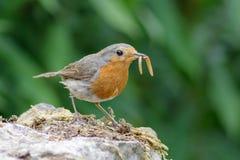 Européen Robin (rubecula d'Erithacus) avec des vers de farine Images libres de droits