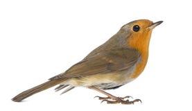 Européen Robin - rubecula d'Erithacus image stock