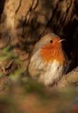 Européen Robin (rubecula d'Erithacus) en soleil de matin photographie stock libre de droits