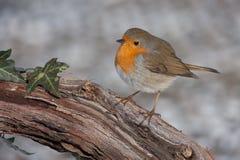 Européen Robin sur la branche Photographie stock libre de droits