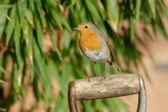 Européen Robin sur la poignée de fourchette de jardin Photos libres de droits