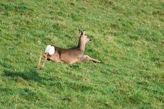 Européen Roe Deer, Roe Deer, capreolus de Capreolus photographie stock