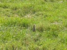 Européen Souslik ou écureuil moulu, citellus de Spermophilus, support dans l'herbe, portrait, foyer sélectif, DOF peu profond photo stock