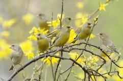 EuropéGreenfinch fåglar (Carduelischlorisen) Fotografering för Bildbyråer