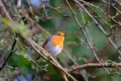 Europén Robin förgrena sig på Royaltyfria Bilder
