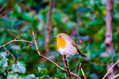 Europén Robin förgrena sig på Arkivfoton