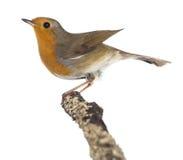 Europén Robin perched på en förgrena sig - Erithacusrubecula fotografering för bildbyråer