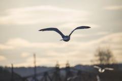 Flyg för europésillfiskmås in i solnedgången Royaltyfri Bild