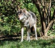 Europ?en Grey Wolf, lupus de Canis dans le zoo image libre de droits