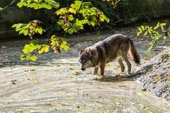 Europ? Grey Wolf, Canislupus i zoo arkivfoton