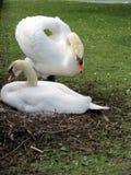 Europa, Bélgica, Flandes Occidental, Brujas, dos cisnes de amor en el banco del canal imagen de archivo libre de regalías