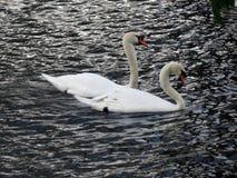Europa, Bélgica, Flandes Occidental, Brujas, un par de cisnes hermosos en el amor que flota en el canal fotos de archivo