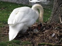 Europa, België, West-Vlaanderen, Brugge, de witte Zwaan behandelt de eieren in het nest stock afbeelding