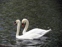 Europa, België, West-Vlaanderen, Brugge, een paar mooie witte zwanen die op de vijver drijven stock fotografie