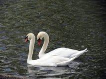Europa, Belgia, Zachodni Flandryjski, Bruges, para piękni biali łabędź unosi się na stawie fotografia stock