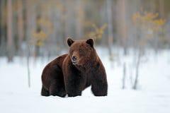 Europa vinter Härligt brunt däggdjur som går runt om sjön med snö och is Farlig varelse i naturträ, änglivsmiljö arkivfoton