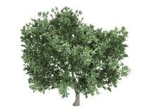 europaea齐墩果橄榄 免版税图库摄影