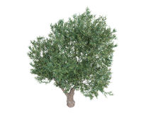 europaea齐墩果橄榄 库存照片