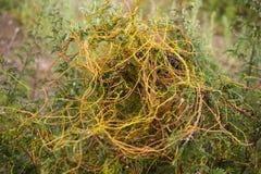 Europaea/Cuscutaceae van Cuscuta Royalty-vrije Stock Foto's