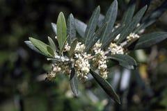 Europaea del Olea - aceituna Imagen de archivo