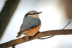 Europaea del Sitta della sitta (Sittidae) Fotografie Stock Libere da Diritti