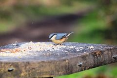 Europaea del sitta della sitta, sulla tavola, foresta di Sherwood Fotografie Stock