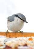 Europaea del Sitta. Uccello che si siede sulla fine dell'alimentatore. Fotografia Stock Libera da Diritti