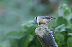 Europaea Sitta поползневого садилось на насест на старом пне дерева с гайкой в своем клюве Стоковые Изображения RF