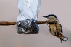 Europaea Sitta поползневого, Aves стоковая фотография rf