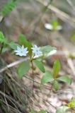 Europaea Trientalis Αρκτικό starflower Στοκ Φωτογραφίες