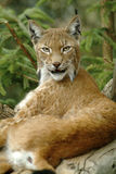 Europaean lynx. In Austria: Ost Tirol natural park Stock Images