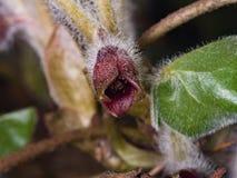 Europaeum asarum λουλουδιών, άγρια πιπερόριζα ή hazelwort, μακρο την άνοιξη δασική, εκλεκτική εστίαση, ρηχό DOF Στοκ Φωτογραφίες