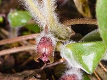 Europaeum asarum λουλουδιών, άγρια πιπερόριζα ή hazelwort, μακρο την άνοιξη δασική, εκλεκτική εστίαση, ρηχό DOF Στοκ Εικόνες