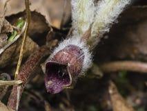 Europaeum asarum λουλουδιών, άγρια πιπερόριζα ή hazelwort, μακρο την άνοιξη δασικό, ρηχό DOF, εκλεκτική εστίαση Στοκ Φωτογραφίες