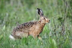 布朗野兔,天兔座europaeus 免版税图库摄影