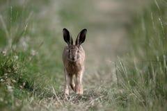 欧洲棕色野兔,天兔座europaeus 库存照片