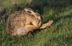 Europaeus Lepus зайцев Брайна очищая свою ногу Стоковые Изображения RF