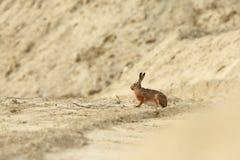 Europaeus Lepus Одичалая природа Австрии свободная природа стоковое фото
