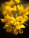 Europaeus van Ulex van de gaspeldoornbloem hoofd Royalty-vrije Stock Foto's