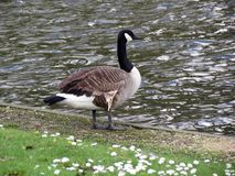 Europe, Belgium, West Flanders, Bruges,a duck with a black neck stands on the shore of the pond stock photo