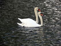 Europe, Belgium, West Flanders, Bruges,a pair of loving swans floating on the channel royalty free stock photos