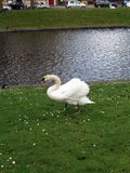 Europe, Belgium, West Flanders, Bruges,white Swan walking on a green lawn on the Bank of the canal royalty free stock photo