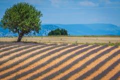 europe kwitnący niekończący się pola kwitną France lawendowi plateau Provence rzędy czującego valensole Valenso Zdjęcia Stock