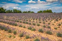 europe kwitnący niekończący się pola kwitną France lawendowi plateau Provence rzędy czującego valensole Valenso Obrazy Royalty Free